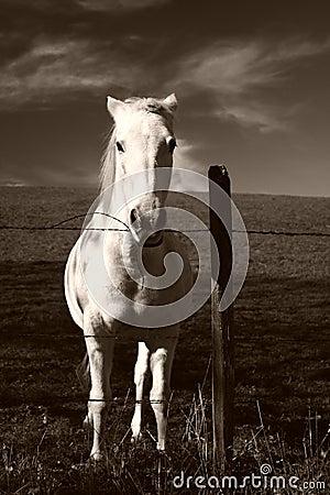 Pure white horse