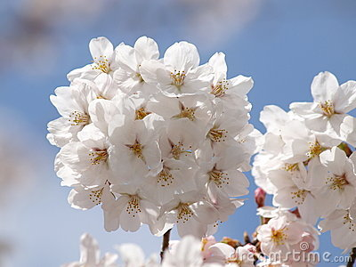 Pure White Sakura Royalty Free Stock Photography - Image: 13730507