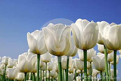 Pure White Tulips