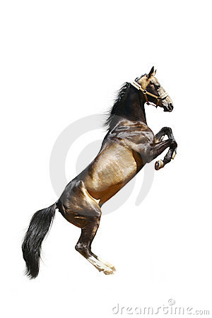 Purebred ackal-teke horse isolated