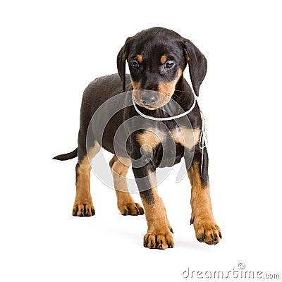 Purebred black-and-tan German Pinscher puppy
