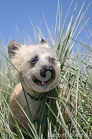 Purebred Cairn Terrier Portrait