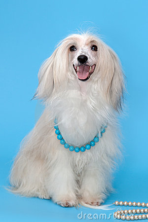 Purebred chinese crested dog