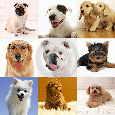 Purebred dog collection