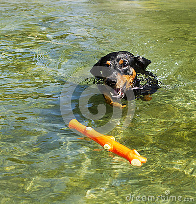 Purebred German Pinscher fetching toy in a lake