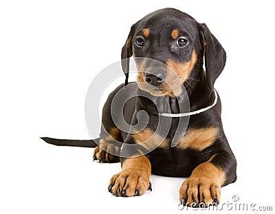 Purebred German Pinscher puppy