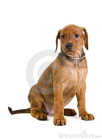 Purebred German Pinscher puppy