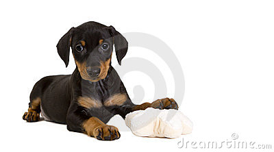 Purebred German Pinscher puppy with toy