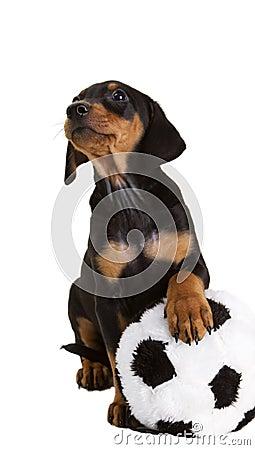 Purebred German Pinscher puppy with toy