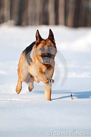 Purebred german shepherd jumps and runs in the sno