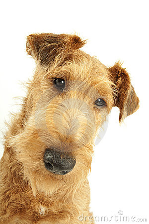 Purebred Irish Terrier