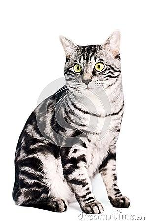 Purebred Kunashir cat