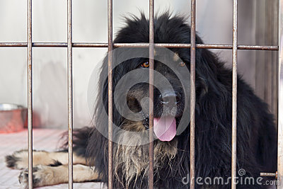 Purebred mastiff in cage