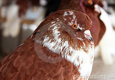 Purebred Pigeon brown color.