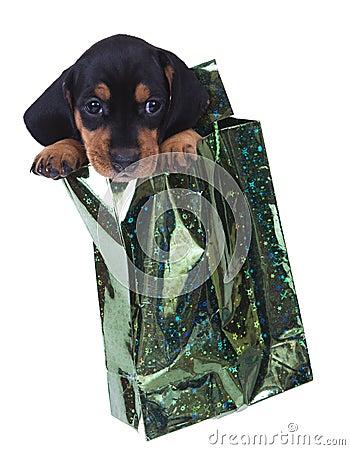 Purebred puppy dachshund