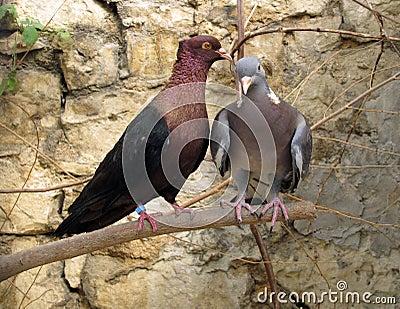 Purebreds doves