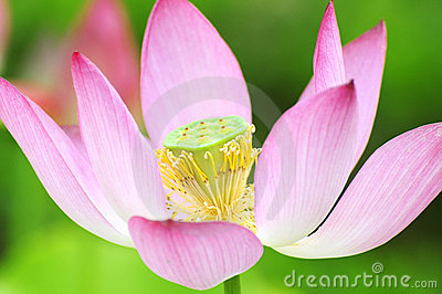 Purity color of lotus flower