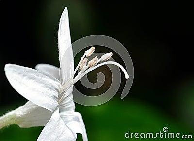 Purity Flower