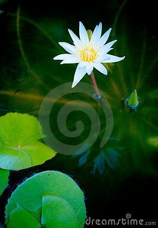 Purity Lotus