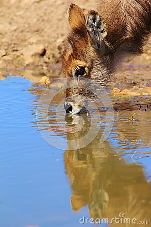 Purity and Peace - Waterbuck calf