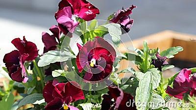 Purper viooltje stock videobeelden