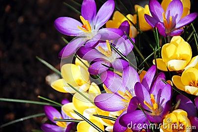 Purpere en gele de lentebloemen