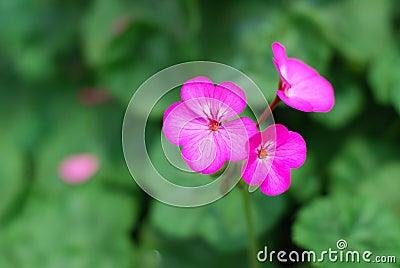 Purpere geranium