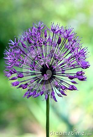 Purple Alium flower