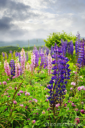 Free Purple And Pink Garden Lupin Flowers Stock Images - 12089684