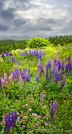 Free Purple And Pink Garden Lupin Flowers Royalty Free Stock Photos - 12253928