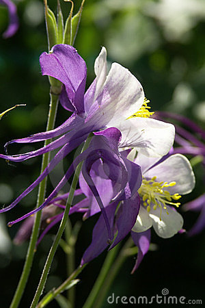Free Purple And White Columbine Close-up Stock Image - 550921