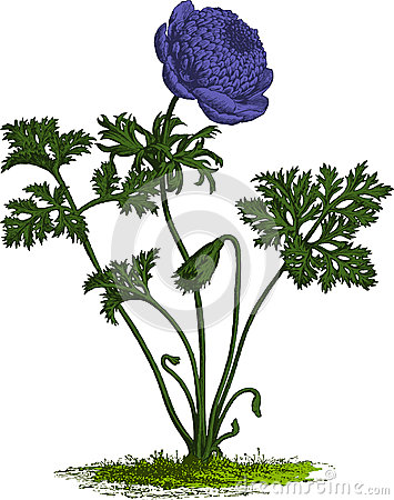 Purple anemone flower. Vector