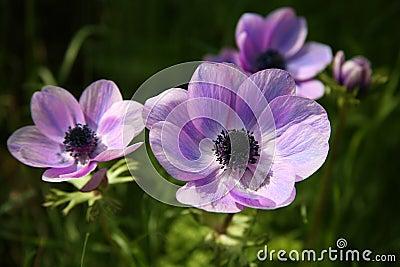 Purple Anemone Spring Flowers