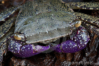 Purple arm crab