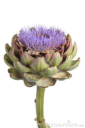 Purple artichoke flower close up