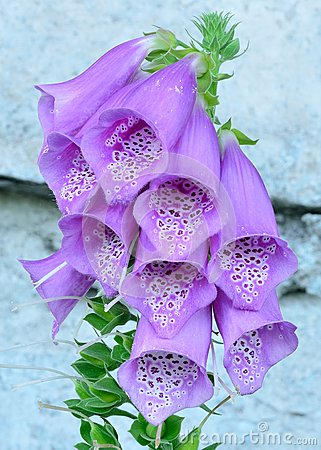 Purple Bell Flowers Foxglove