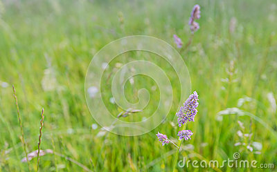 Purple blooming grass in the wild nature