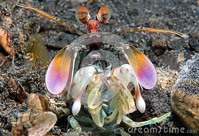 Purple-blotched Mantis Shrimp