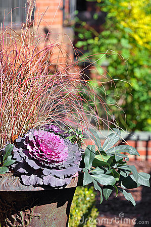 Purple Cabbage Flower and red Ornamental Grass