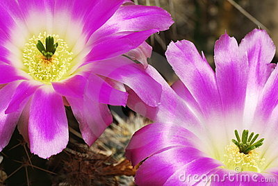 Purple cacti flowers in bloom