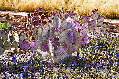 Purple Cactus Blue Flowers Desert Garden Arizona