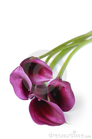 Free Purple Calla Lilies Stock Photo - 4067350