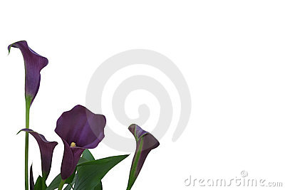 Purple Calla Lily Background