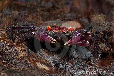 Purple carnaval crab