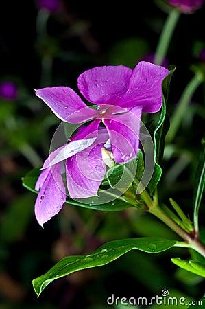 Purple Catharanthus roseus (Madagascar periwinkle)