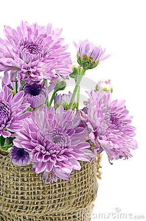 Free Purple Chrysanthemum. Stock Photos - 40235843
