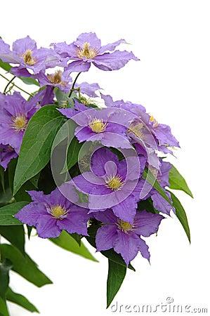 Free Purple Clematis Stock Photos - 2541893
