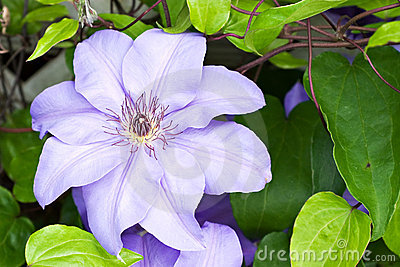 Purple Clematis flower