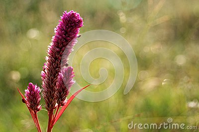 Purple cockscomb flower