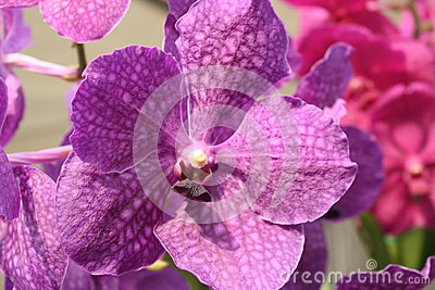 Purple colored Orchid